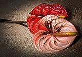 Wallario Wand-Bild 70 x 100 cm | Motiv: Blüten einer Flamingoblume - Anthurie - auf schwarzem Marmor | Direktdruck auf 5mm starke Hartschaumplatte | leichtes Material | günstig