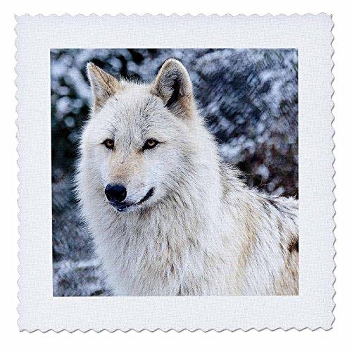3dRose 173719_1 Rocky Mountain Grauer Wolf, 25,4 x 25,4 cm -