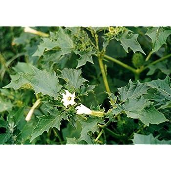 Asklepios-seeds® - 100 Samen Datura stramonium, Gemeiner/weißer Stechapfel