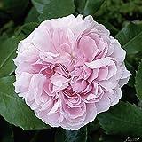 Garten-Schlüter Historische Rose 'Jacques Cartier'