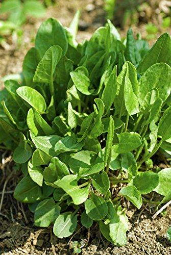 Kleiner Sauerampfer Rumex acetosella 2000 Samen