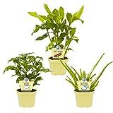 Zimmerpflanzen aus dem Bio-Anbau Aloe vera