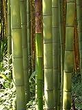 Seedeo Riesenbambus (Dendrocalamus gigantea) 60 Samen