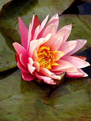 raritat-nymphaea-seerose-greggs-orange-beauty-