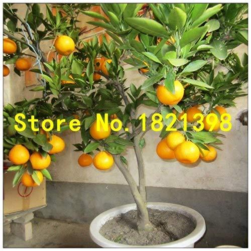 Pinkdose 50 Pièces/sac Lemon Tree Semences Taux de survie Bonsai Fruit Graines Pour la maison Gatden Bonsai citron Graines: 6