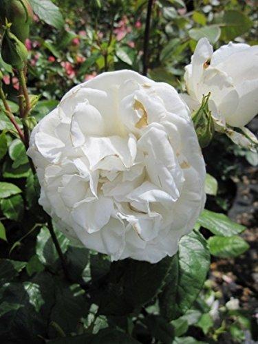 Edelrose Annapurna® - Rosa Annapurna® - Teehybride - reinweiß - Duft++++