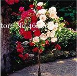 Pinkdose 100 PC/bolsa Genuino Fresco Raro Rosa Chinensis Dendroidal Rosa Ãrbol de flor Bonsi Regala planta amante para jardn de casa 21 colores: f