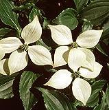 Japanischer Blumen Hartriegel Kreuzdame 40-60cm - Cornus kousa