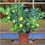 Bloom Green Co. 20 PCS/BAG Grüne Zitrone Baum (Lenovo Zitrone) Bio-Frucht Bonsai Kalk Bonsai Grün Gesunde Ernährung leicht anzubauen Blumentopf