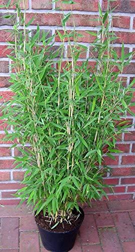 2 Bambus,Höhe: 110-120 cm, Fargesia murielae Jumbo, winterharte Bambuspflanzen