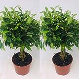 Lot de 2 Ficus Benjamina Babilatos sur tige tressée - Pots de 12 cm - Superbe cadeau pour plante d'intérieur