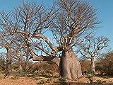 vegherb Nueva Planta de jardín de 2 Semillas digitata del Adansonia Baobab, Crema de tártaro Semillas de árboles envío