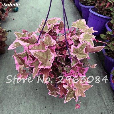 Multi Color Graine vivace Plante aromatique, Feuille plante grimpante herbe Jeune pousse, Graine Intéressant Bonsai Flowerpot jardin Décor 100 P 13