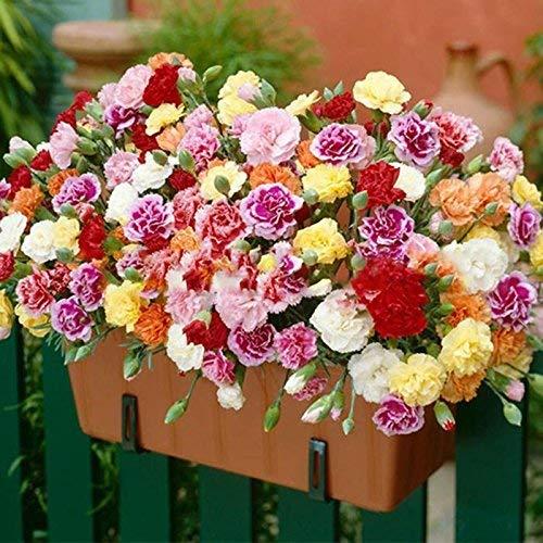 MEIGUISHA Gartensamen-Selten Nelke Schnittnelke Ikat Mischung Duftnelke Blumensamen Mischung mehrjährig winterhart Parfüm Samen Blumensamen seltene Bonsai Leuchtmittel für Garten Balkon/Terrasse (50)