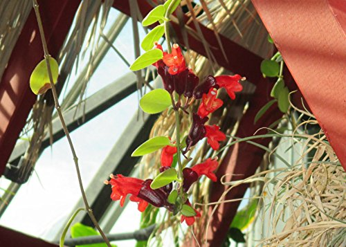 Aeschynanthus radicans is a vine like plant. (English Edition)
