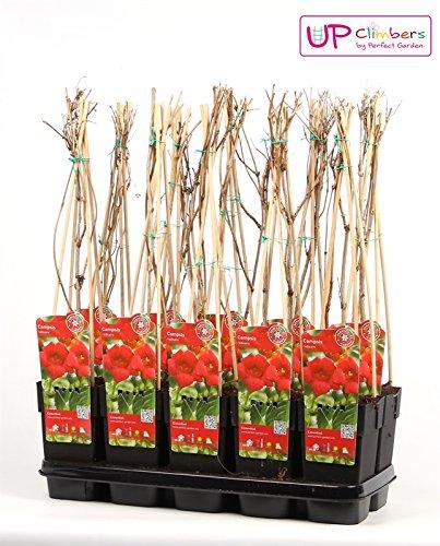 Trompetenblume - Campsis - blühende Kletterpflanze (Campsis radicans)