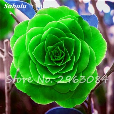 5 pièces rares Graines arc-en-Camellia fleurs, plantes en pot de bricolage, Lumière Parfumée Fleur intérieur, intérieur Bonsai planter des fleurs Semences 22