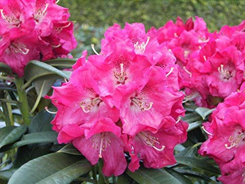 Rhododendron Hybride 'Berliner Liebe' - Im 5 lt. Topf, Höhe ca. 30-40cm