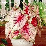 Hot 100 semillas PC Janpanse coleo rara semilla de color coleo Flor Hermosa Extáticos Planting Seeds Flores Bonsai Para el hogar Jardín 5