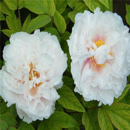 5 pièces / sac graines de pivoine, jaune, graines de fleurs de pivoine rose chinoise belles graines de bonsaï plantes en pot pour le jardin de la maison 10