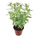 Zitronenverbene - Kräftige Zitronenverbene-Pflanze im großen Topf in bester Gärtnerqualität - Kräuterpflanze