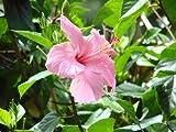 Hibiskus Farbmix hibiscus syriacus 20 Samen