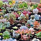 Keland Garten - Sukkulenten Samen Mischung winterhart Blumensamen, geeignet auch für alte Schuhen oder Dachziegeln (30 Samen)