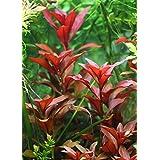 1 Manojo Ludwigia repens 'Rubin' - Plantas de acuario