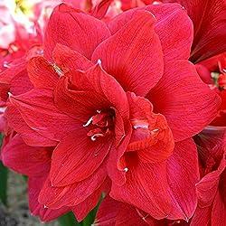 Amaryllis rot - 1 blumenzwiebel