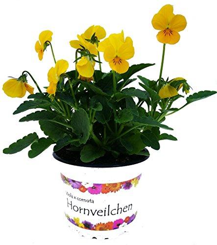 Hornveilchen (Cornuta) 'gelb' im 3er Pack
