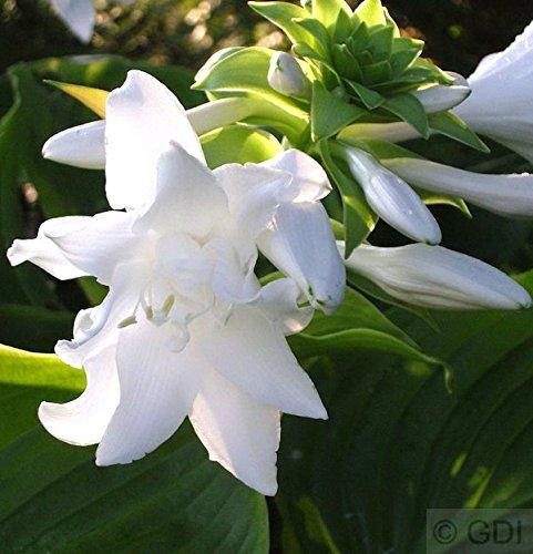 Grünblattfunkie Aphrodite - Hosta plantaginea