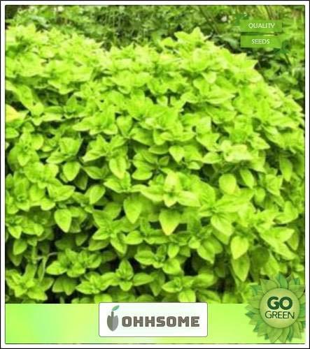Pinkdose Superb Samen Kräutersamen Origanum vulgare - blühende Pflanze Mint Familie