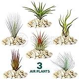 Tillandsia Mix - 3 Plants - Indoor Air Plant for House Vivarium Terrarium