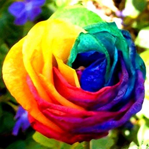 mymotto 100pcs Multi Color Jardín Balcón Belle Bonsai Plantas Rosa Semillas