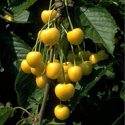 Obstbaum Kirsche Kirschbaum Busch Form gelb Dönissens gelbe Knorpelkirsche - hochwertige Baumschul Qualität direkt vom Fachhändler (Obst-termine)