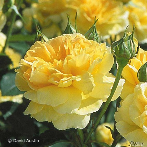 David Austin-Rose 'Molineux®' - AGM-Rose