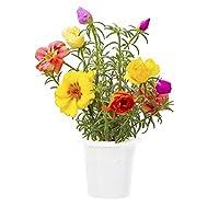 Chiamata anche porcellana comune, la portulaca è una pianta rustica conosciuta per i suoi fiori a rosellina con i petali dall'aspetto stropicciato che regalano coloratissime fioriture. Coltiva in casa senza sforzo, il pollice verde non è necessario! ...