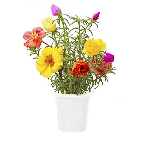 click-grow-moss-rose-refill-3-pack-for-smart-herb-garden