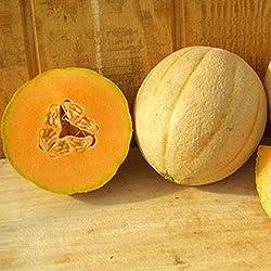 PLAT FIRM GERMINATIONSAMEN: 50 - Seeds: Maverick F1 Hybrid Seeds - hohe Qualität Cantaloupe hat ausgezeichnetes Ertragspotenzial