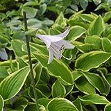 lichtnelke - Funkie (Hosta fortunei (x)) AUREOMARGINATA
