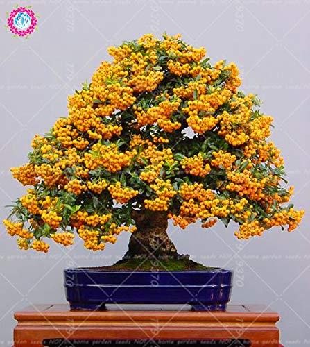 Go Garden Lot de 50 Sacs Rouges Pyracantha fortuneana Bonsai FrÃ111T pour intérieur ou extérieur