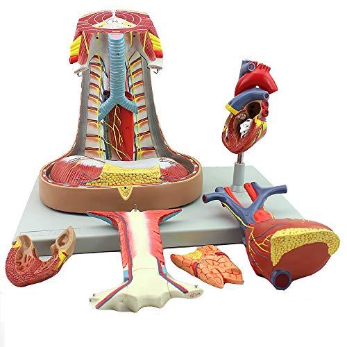Modello anatomico di cuore Modello di insegnamento Sistema respiratorio pleurico Modello di cuore timico Modello di chirurgia toracica Modello di torace intracardiaco cardiaco Modello di petto
