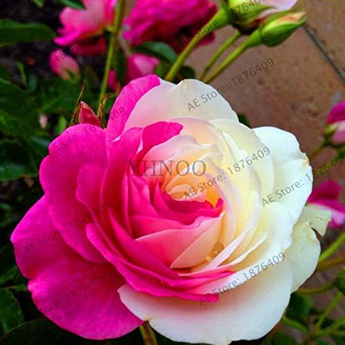 Bloom Green Co.. ! Vã©Ritable 200 pcs/Paquet Usine Rainbow Rose Holland Flower bonsaïs Rose Amant Cadeau Exotiques rares 24 Couleurs au Choix de Bricolage pour Garde à Domicile: 24