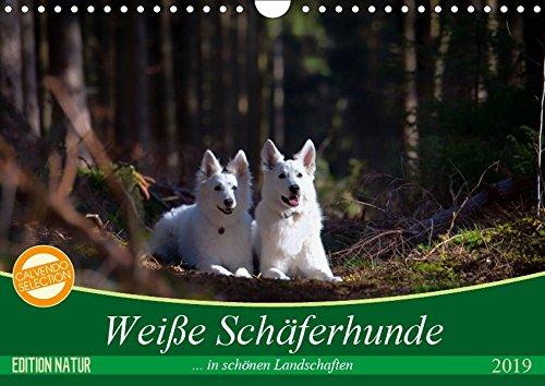Weiße Schäferhunde in schönen Landschaften (Wandkalender 2019 DIN A4 quer): Weiße Schäferhunde präsentieren sich in bezaubernder Natur (Monatskalender, 14 Seiten ) (CALVENDO Tiere)