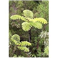 Cyathea glauca - helecho árbol - 100 semillas