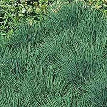 FERRY Keimfutter: 100 Samen von Blau Haar s (Koeleria) Garten Startet Nursery