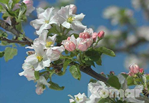 Primavera Poster (Fototapete PRIMAVERA 368x254 erste Blüten des Frühlings erfrischendes weiss-rosa)