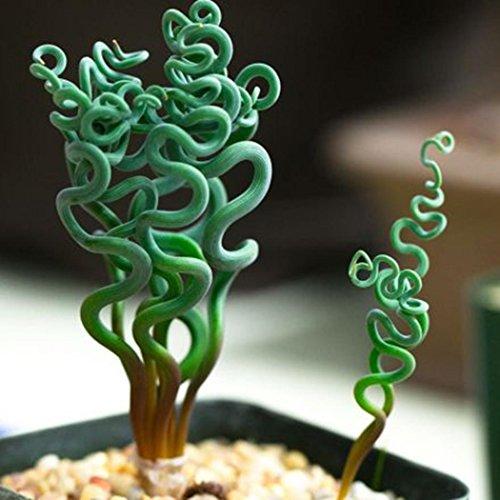AIMADO Samen-Rarität 100 Pcs Albuca spiralis Saatgut Kunstvoll spiralenförmigen Blättern Grünpflanze exotische Samen Zimmerpflanze, Für In- und Outdoor geeignet