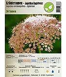 Semi di erbe - Angelica / Angelica archangelica L. 30 Semi