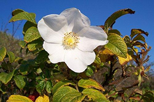 Weiße Apfelrose Rosa rugosa alba Pflanze 25-30cm Heckenrose Wildrose Rose